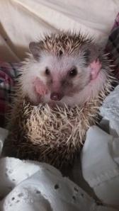 Hullo, world. It's me, hedgehog.