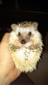Ambassador Hedgehog!